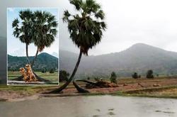 """Biểu tượng cây thốt nốt tình yêu trên đường chạy marathon Tây Ninh """"chết một nửa"""""""