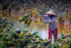 Chạy Mekong Delta Marathon, nếm dứa Cầu Đúc nức tiếng Hậu Giang