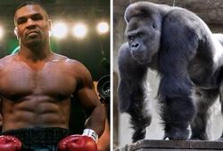 Mike Tyson đã từng suýt chi 10000 USD để đấm nhau với khỉ đột