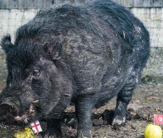"""Hy hữu chuyện lợn bị """"truy sát"""" vì đoán lầm kết quả World Cup"""