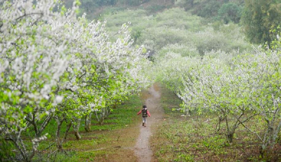 Mộc Châu mùa hoa nở chào đón các VĐV đến với Vietnam Trail Marathon 2020