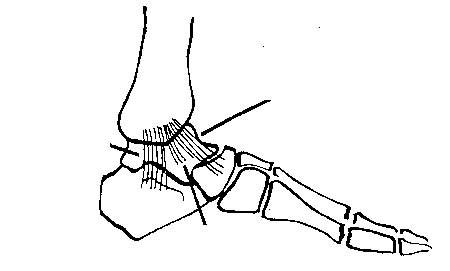 Nhìn giữa giây chằng delta nông Chạy qua khớp có một số gân giúp cho việc gấp, duỗi cũng như lật vào hay lật ra của bàn chân. Các gân này có tác dụng như một hệ thống phụ trợ cho khớp cổ chân. (Theo ĐH Y Hà Nội)